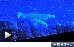 音響カメラがとらえた産卵のために遡上するイトウ(北海道の猿払川支流)
